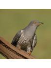 """Пара наперстков """"Blackbird и Cuckoo"""" из коллекционной серии BIRDS of BRITAIN от Sutherland"""