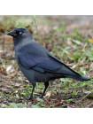 "Пара наперстков ""Starling и Jackdaw"" серии BIRDS of BRITAIN от Sutherland"
