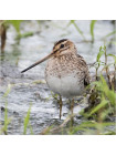 "Пара наперстков ""Great crested grebe и Snipe"" серии BIRDS of BRITAIN от Sutherland"